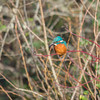 Kingfisher, Alcedo atthis 4037
