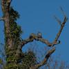 Peregrine, Falco peregrinus 4046