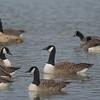 Canada Goose, Branta canadensis 4391