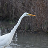 Great White Egret, Ardea alba 4643
