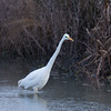 Great White Egret, Ardea alba 4577