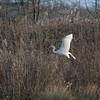 Great White Egret, Ardea alba 4341