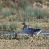 Greylag Goose, Anser anser 4114