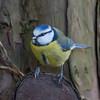 Blue Tit, Cyanistes caeruleus 4888
