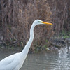 Great White Egret, Ardea alba 4648