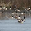 Canada Goose, Branta canadensis 4401
