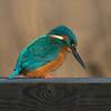 Kingfisher, Alcedo atthis 3949