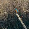 Kingfisher, Alcedo atthis 4060