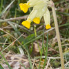 Cowslip, Primula veris 1026