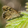 Speckled Wood, Pararge aegeria 1045