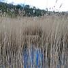 Mute Swan's nest, Cygnus olor 481