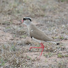 Crowned Plover, Vanellus coronatus 8257