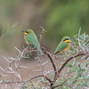 Little Bee-eater, Merops pusillus 8213