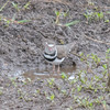 Three-banded Plover, Charadrius tricollaris 8167