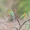 Little Bee-eater, Merops pusillus 8218