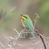 Little Bee-eater, Merops pusillus 8226