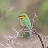Little Bee-eater, Merops pusillus 8224
