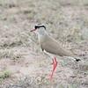 Crowned Plover, Vanellus coronatus 8258