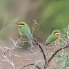 Little Bee-eater, Merops pusillus 8217