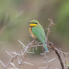 Little Bee-eater, Merops pusillus 8225
