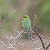 Little Bee-eater, Merops pusillus 8220