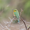 Little Bee-eater, Merops pusillus 8223
