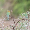 Little Bee-eater, Merops pusillus 8219