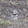Three-banded Plover, Charadrius tricollaris 8168
