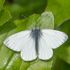 Green-veined White, Pieris napi 0739