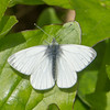 Green-veined White, Pieris napi 0735