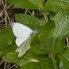 Green-veined White, Pieris napi 0852