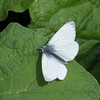 Green-veined White, Pieris napi 0670