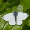 Green-veined White, Pieris napi 0738