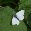 Green-veined White, Pieris napi 0671