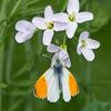 Orange-tip, Anthocharis cardamines 0740