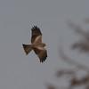 Yellow-billed Kite, Milvus aegyptius 7874