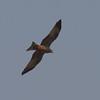 Yellow-billed Kite, Milvus aegyptius 7869