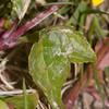 Yellow Pimpernel, Lysimachia nemorum 3694