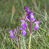 Green-winged Orchid, Anacamptis morio 3636