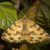 Speckled Yellow, Pseudopanthera macularia 3664