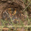 nestlings, probably Blackbirds, Turdus merula, in Gorse bush 3695