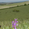 Green-winged Orchid, Anacamptis morio 3615