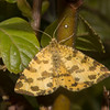 Speckled Yellow, Pseudopanthera macularia 3662