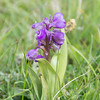Green-winged Orchid, Anacamptis morio 3623