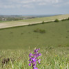 Green-winged Orchid, Anacamptis morio 3616