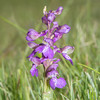 Green-winged Orchid, Anacamptis morio 3613