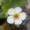 Wild Strawberry, Fragaria vesca 3651
