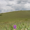 Green-winged Orchid, Anacamptis morio 3626