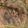 nestlings, probably Blackbirds, Turdus merula, in Gorse bush 3696