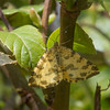 Speckled Yellow, Pseudopanthera macularia 3665